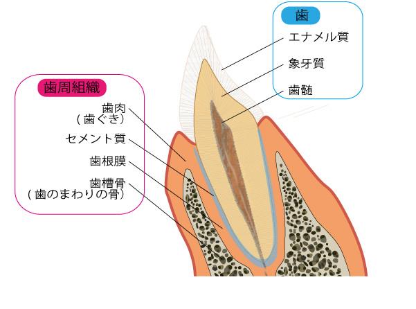 歯周病を治して心臓疾患を予防する | はじめよう! …